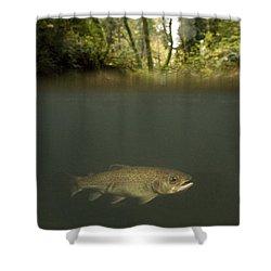 Rainbow Trout In Creek In Mixed Coast Shower Curtain by Sebastian Kennerknecht