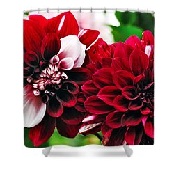 Red And White Variegated Dahlia Shower Curtain by Kaye Menner