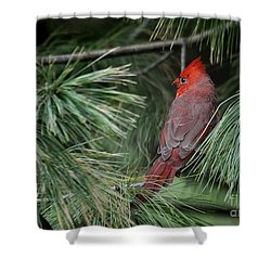 Shower Curtain featuring the photograph Red Cardinal In Green Pine by Nava Thompson