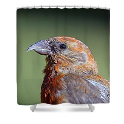 Red Crossbill Shower Curtain