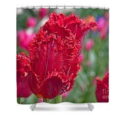 Red Fringed Tulip Flower Macro Art Prints Shower Curtain