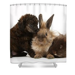 Red Merle Toy Poodle Pup, Guinea Pig Shower Curtain by Mark Taylor