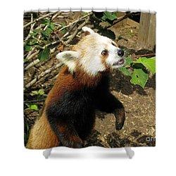Red Panda Feeding Time Shower Curtain by Ausra Huntington nee Paulauskaite