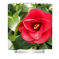 Red Rose Knock Out Shower Curtain by Sandi OReilly