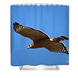Red Shouldered Hawk In Flight Shower Curtain by Carol Groenen