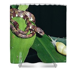 Ringed Snail-eater Snake Sibon Annulata Shower Curtain by Michael & Patricia Fogden