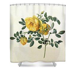 Rosa Hemispherica Shower Curtain by Georg Dionysius Ehret