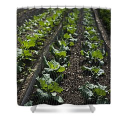Rows Of Cabbage Shower Curtain by Anne Gilbert