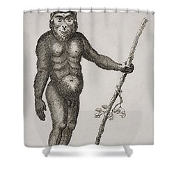 Satyrus, Ourang Outang. Engraved By Shower Curtain by Ken Welsh