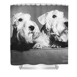 Sealyham Terriers Shower Curtain by M E Browning and Photo Researchers