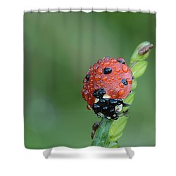 Seven-spotted Lady Beetle On Grass With Dew Shower Curtain