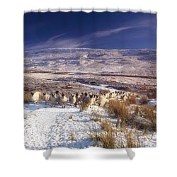 Sheep In Snow, Glenshane, Co Derry Shower Curtain by The Irish Image Collection