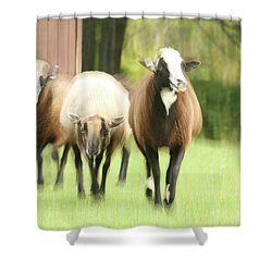 Sheep On The Run Shower Curtain by Karol Livote