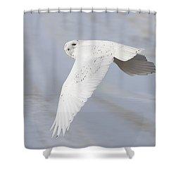 Snowy Owl In Flight In Saskatchewan Canada Shower Curtain by Mark Duffy
