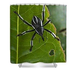 Spider Weevil Papua New Guinea Shower Curtain by Piotr Naskrecki