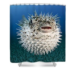 Spotted Porcupinefish IIi Shower Curtain by Dave Fleetham
