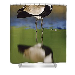 Spur Winged Plover With Its Reflection Shower Curtain by Tim Fitzharris