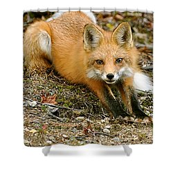 Stretching Fox Shower Curtain by Rick Frost