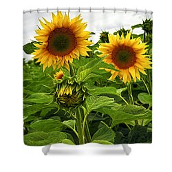 Sunflower Field Shower Curtain by Elena Elisseeva