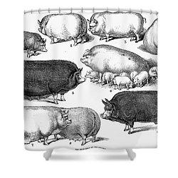 Swine, 1876 Shower Curtain by Granger