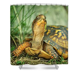 Terrapene Carolina Eastern Box Turtle Shower Curtain by Rebecca Sherman