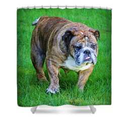Shower Curtain featuring the photograph The Bulldog Shuffle by Jeanette C Landstrom
