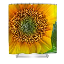 The Last Sunflower Shower Curtain by Sean Griffin