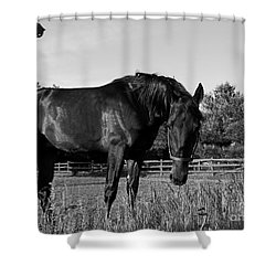 The Stallion Shower Curtain by Davandra Cribbie