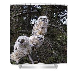 Three Great Horned Owl Bubo Virginianus Shower Curtain by Richard Wear