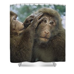 Tibetan Macaques Grooming Shower Curtain by Cyril Ruoso