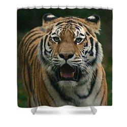 Tiger Shower Curtain by David Rucker