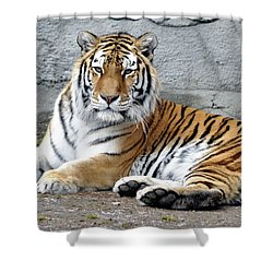 Tiger Resting Shower Curtain