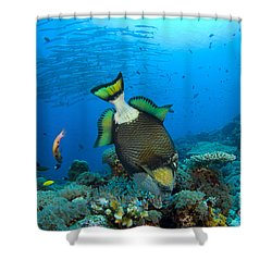 Titan Triggerfish Picking At Coral Shower Curtain by Steve Jones