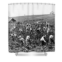 Tobacco Field In Montpelier - Jamaica - C 1900 Shower Curtain