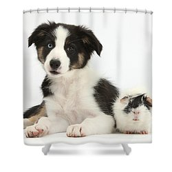 Tricolor Border Collie Pup And Guinea Shower Curtain by Mark Taylor
