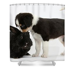 Tricolor Border Collie Pup With Black Shower Curtain by Mark Taylor