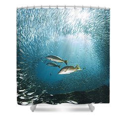 Trio Of Snappers Hunting For Bait Fish Shower Curtain by Todd Winner