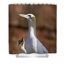 Two Gannets Interacting Perce, Quebec Shower Curtain by Richard Wear