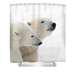 Two Polar Bears Ursus Maritimus Showing Shower Curtain by Richard Wear