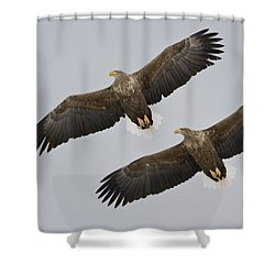 Two White-tailed Eagles In Flight Side Shower Curtain by Roy Toft