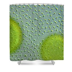 Volvox Globator Surface View Of Colony Shower Curtain by M I Walker