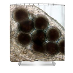Water Flea Daphnia Magna Eggs Shower Curtain by Ted Kinsman