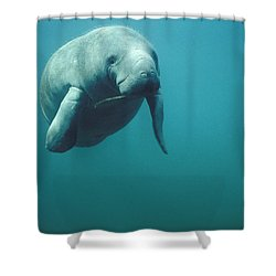 West Indian Manatee Trichechus Manatus Shower Curtain by Tui De Roy