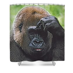 Western Gorilla Portrait With Finger On Shower Curtain by David Ponton