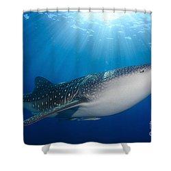 Whale Shark Feeding Under Fishing Shower Curtain by Steve Jones