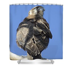 Whistling Kite Shower Curtain by Douglas Barnard