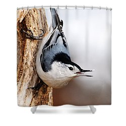 White-breasted Nuthatch 3 Shower Curtain by Larry Ricker