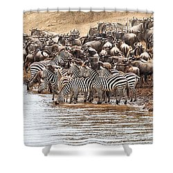 Wildebeest And Zebra Before The Crossing Shower Curtain