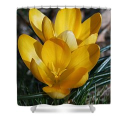 Yellow Crocus Shower Curtain by Karen Harrison