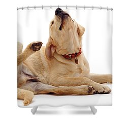 Yellow Labrador Scratching Shower Curtain by Jane Burton